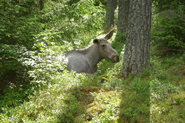 Gårdsjö Moose Park