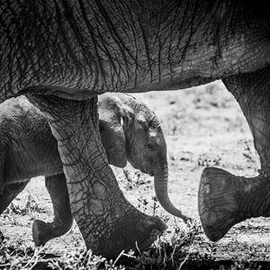 © Frank af Petersens, Elefant unge.