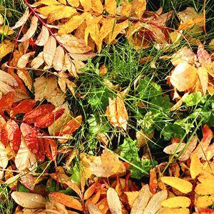 © Copy: Jamtli, Blad i höstfärger som ligger på marken