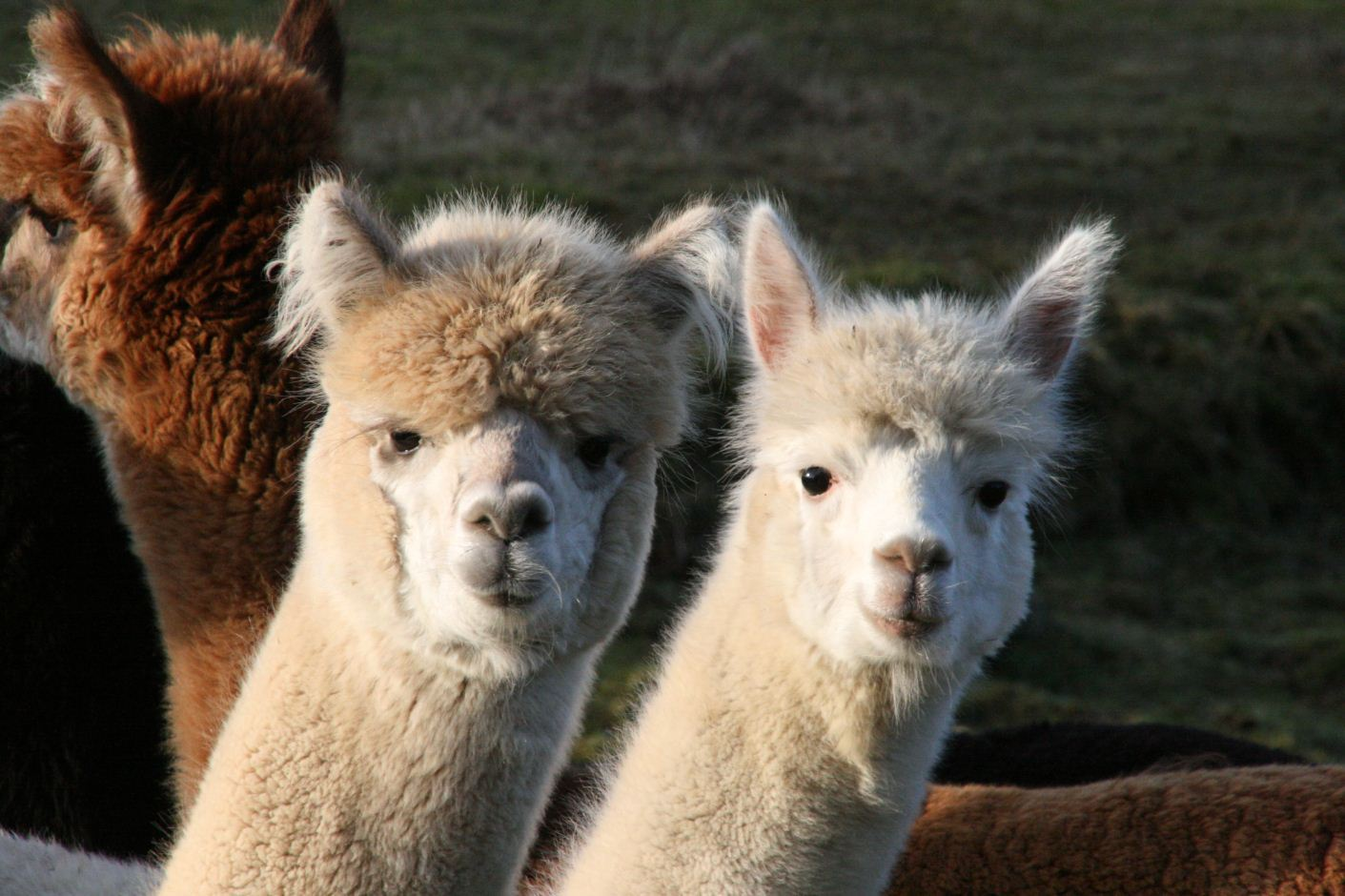 Alpaca trekking – a different way to travel