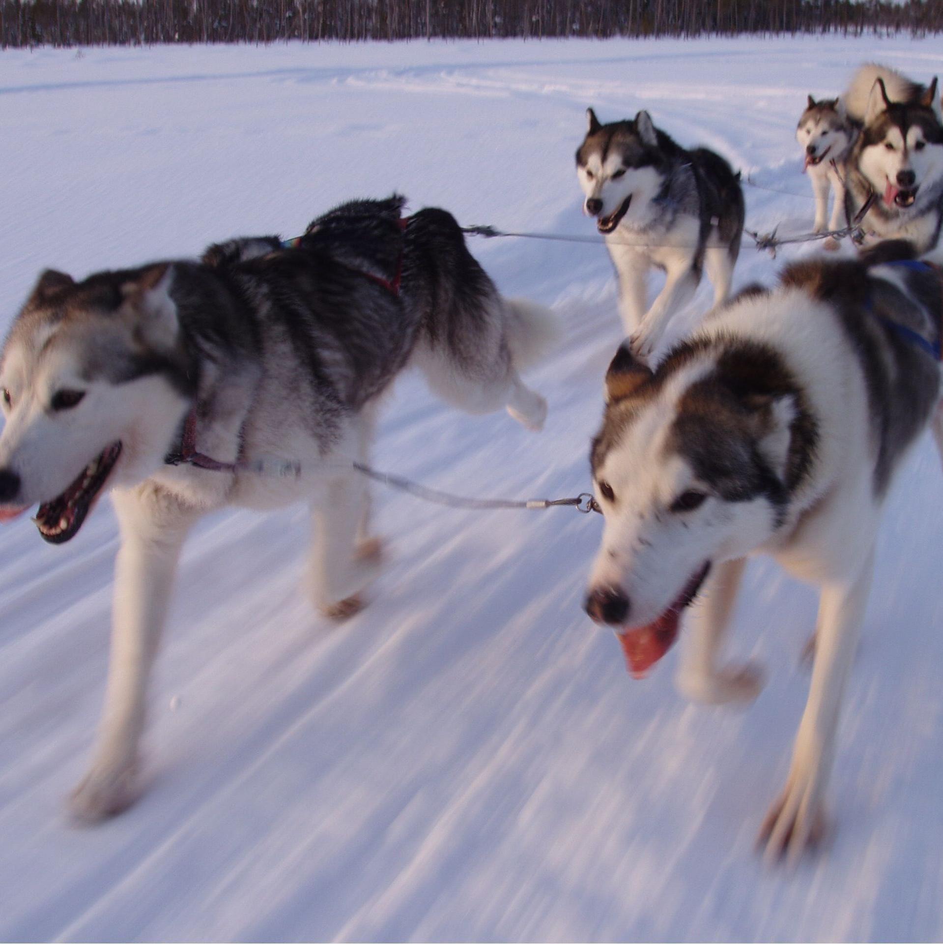 © www.vildmarksupplevelse.se, Nordisk Vildmarksupplevelse Dogsledding in Sörsjön