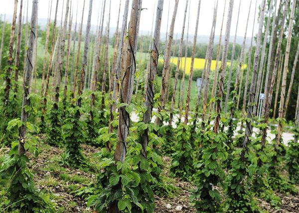 The Hops Dry in Näsum (Humletorkan)