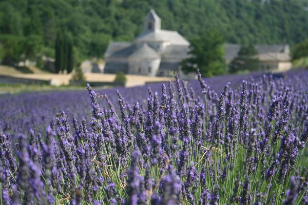Classic lavender tour