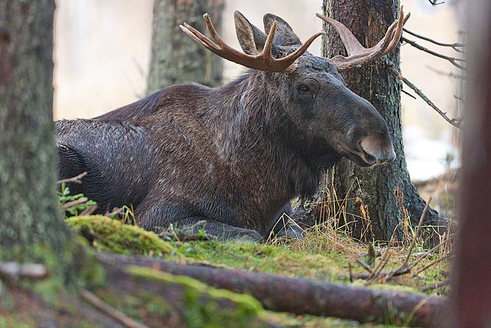 Älgens Hus, Europe's first elk farm with tame elks!