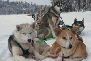 © Aurora Borealis Adventure, Schlittenhundetour für Alle, Aurora Borealis Adventure