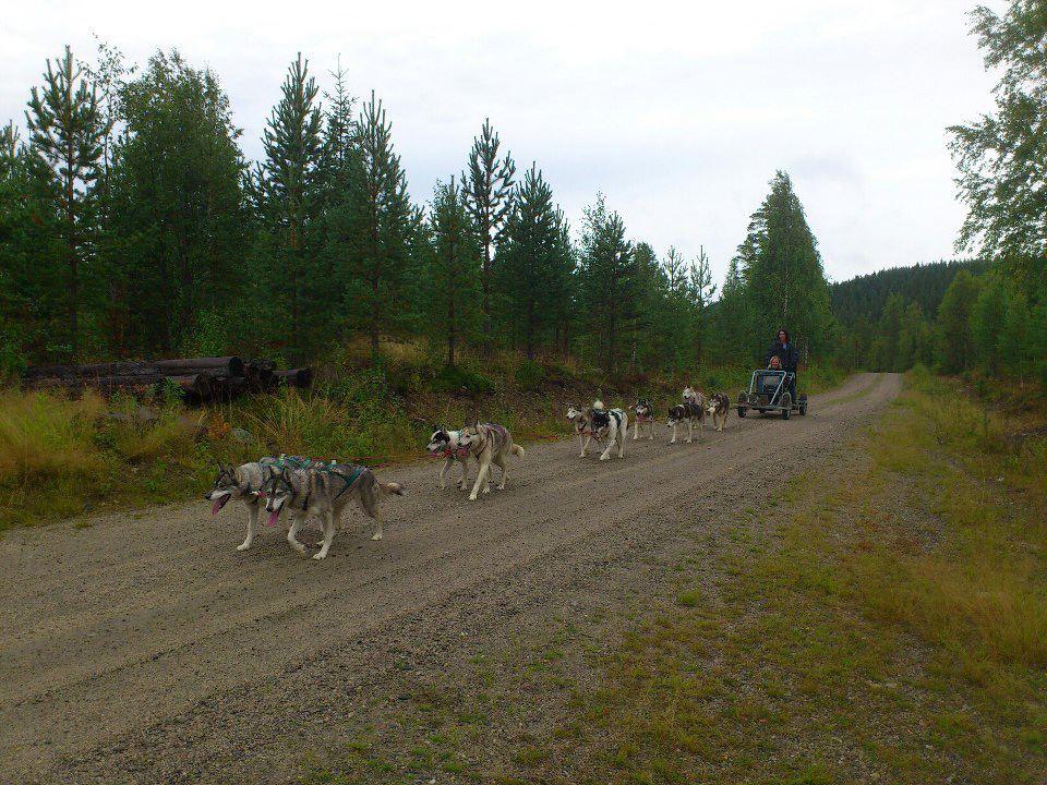 Hundspann på Hjul med Aurora Borealis