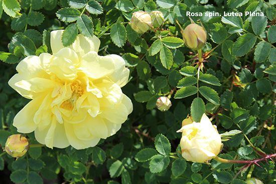 Rosenvisningsträdgård, Rosa Aurora Borealis