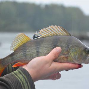 Fiskare som håller upp en abborre.