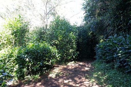Labyrinthe en champ thé (visite libre)