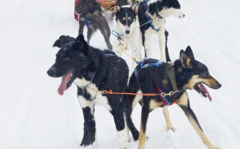© Lyngsfjord Adventure - Hundekjøring, Dog Sledding - Lyngsfjord Adventure