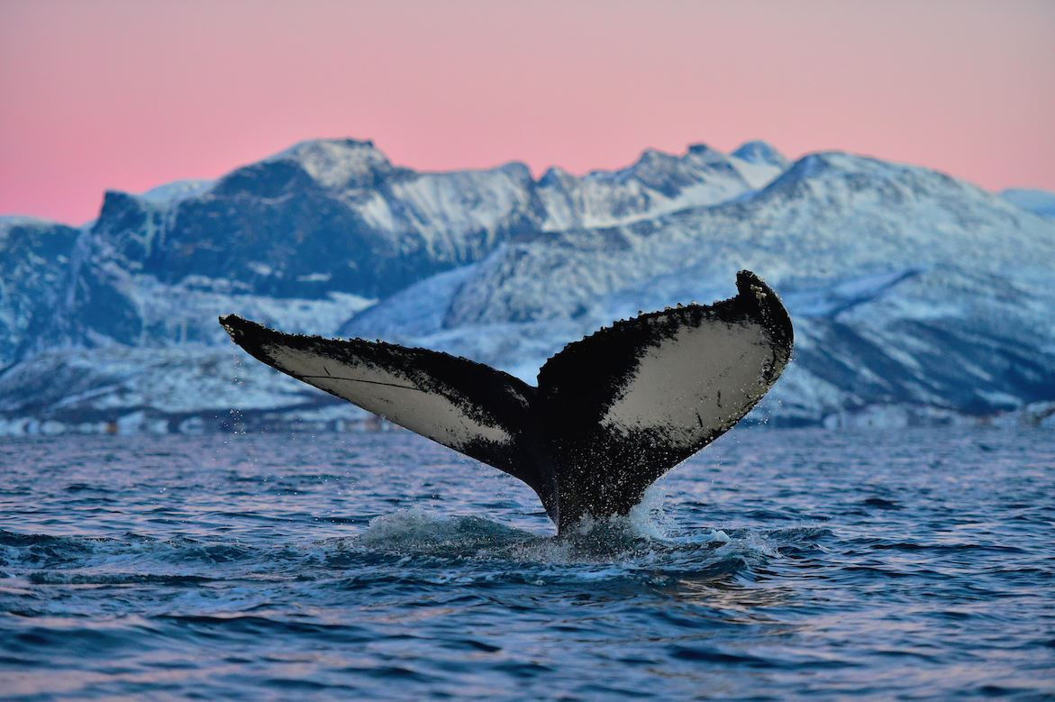 Whale and Orca Safari in Tromsø on a Charming Boat – Basecamp Senja