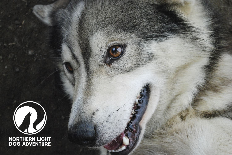 Morning ride – Northern Light Dog Adventure