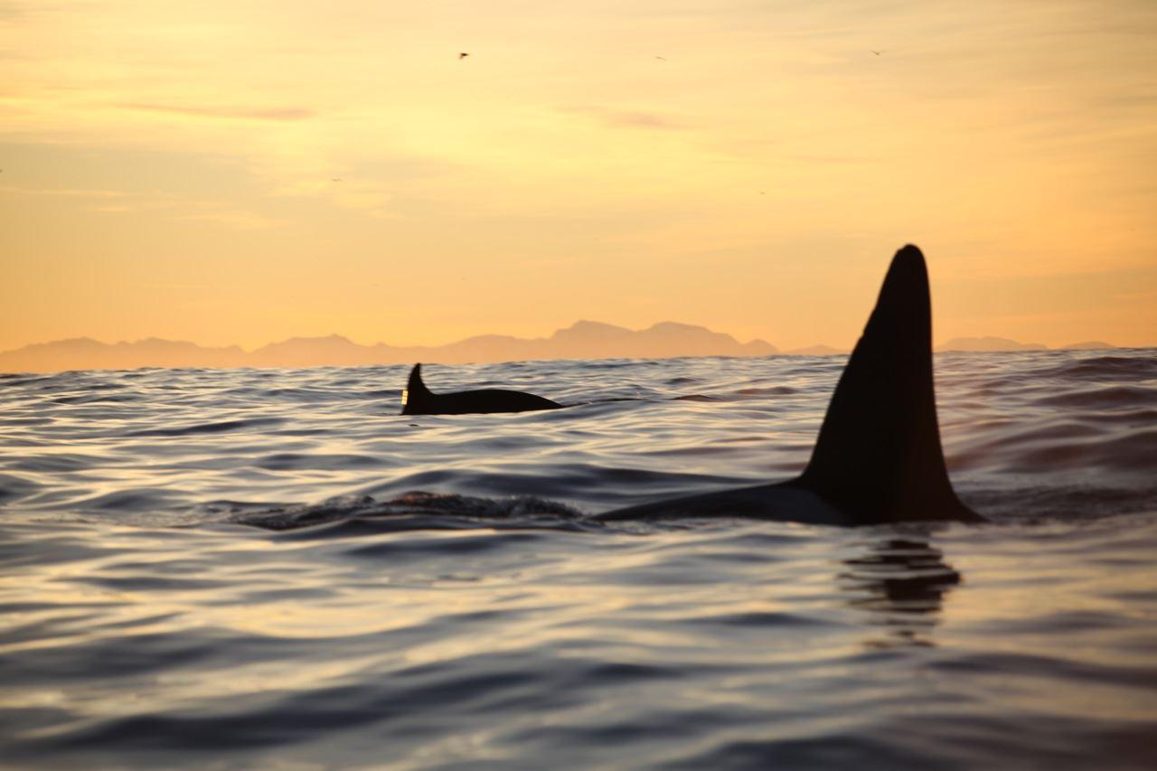Eksklusiv 2,5 dagers hval- og nordlys ekspedisjon på spektakulære Senja – Basecamp Senja