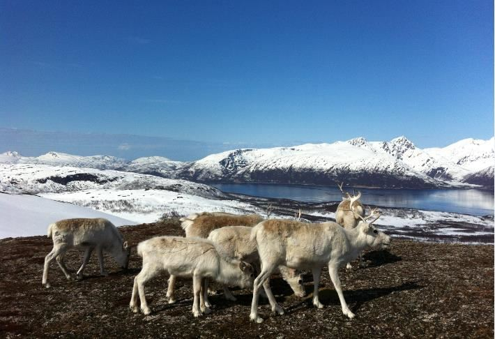 Fjellsafari til reinflokken – Tromsø Arctic Reindeer