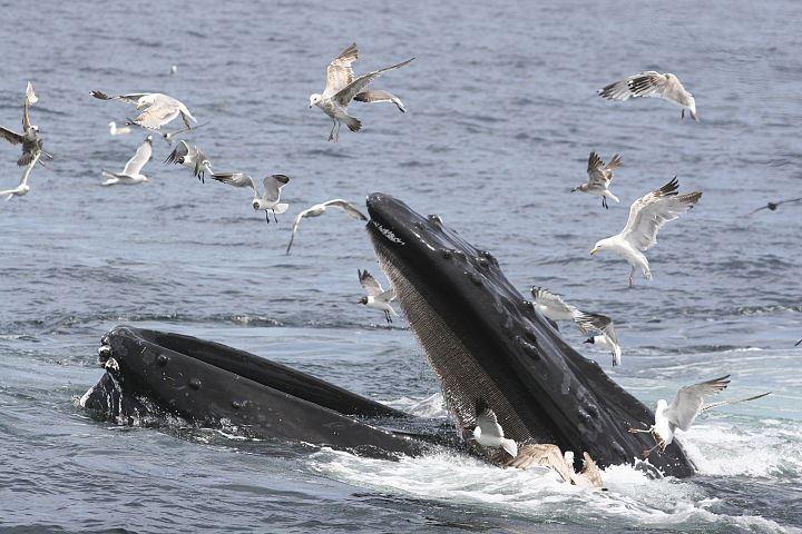 Trond Østvang - ostvangsperspektiv@gmail.com,  © Trond Østvang - ostvangsperspektiv@gmail.com, The ultimate Whale Watching RIB tour – Arctic Explorers