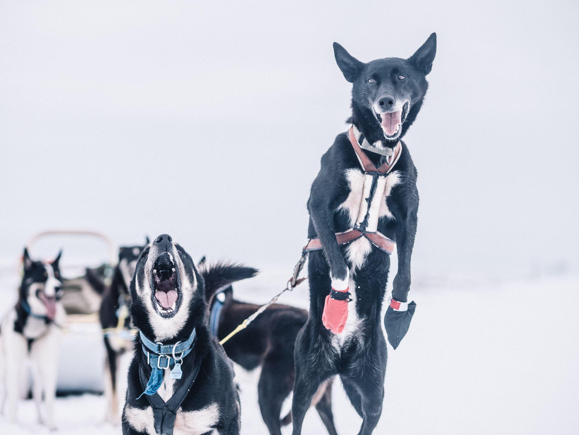 A taste of dog sledding