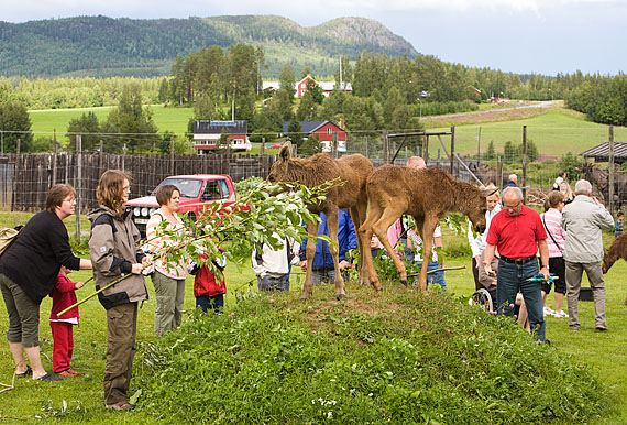 Calle Bredberg,  © Älgens hus, Älgens Hus, Europe's first elk farm with tame elks!