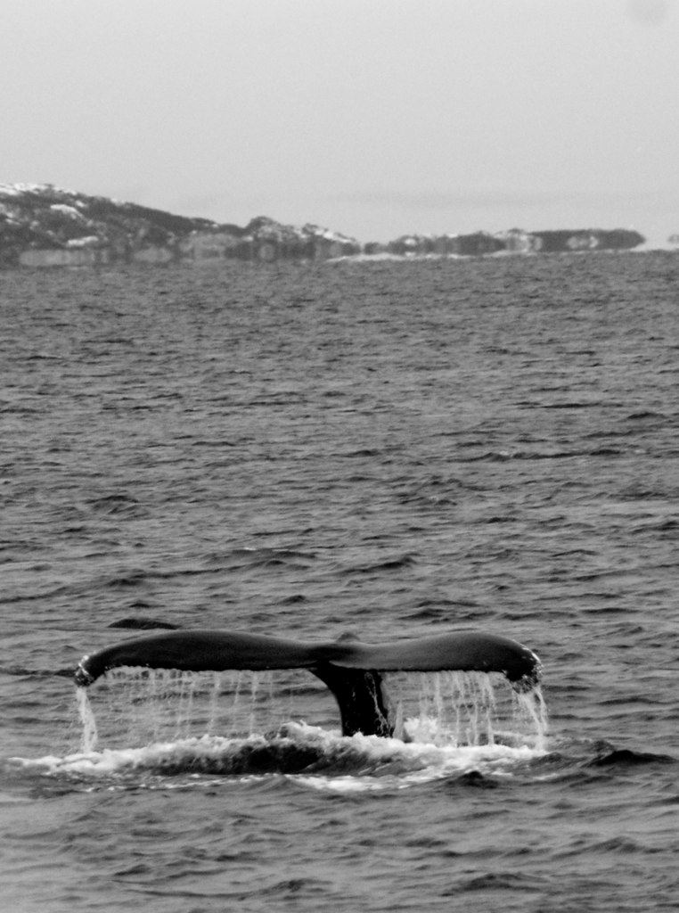 "Scenic Whale Watching from Luxury Catamaran ""Arctic Princess"" – Arctic Cruise in Norway"
