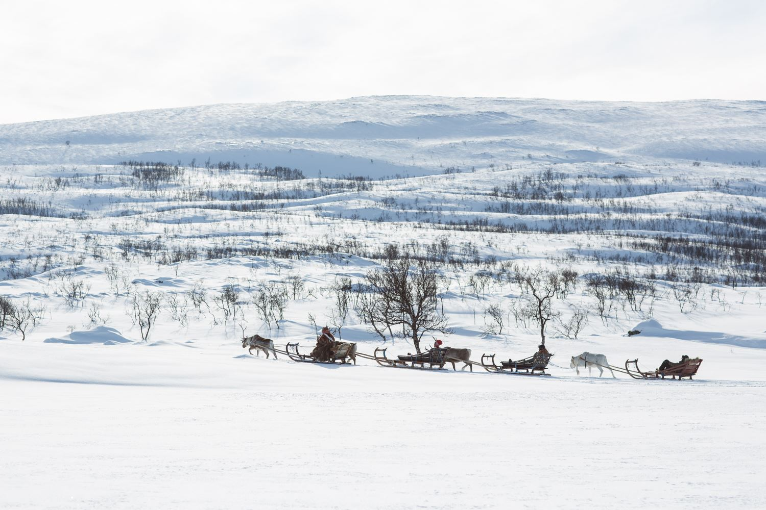 Reindeer Sledding with Guide – Sami Adventure