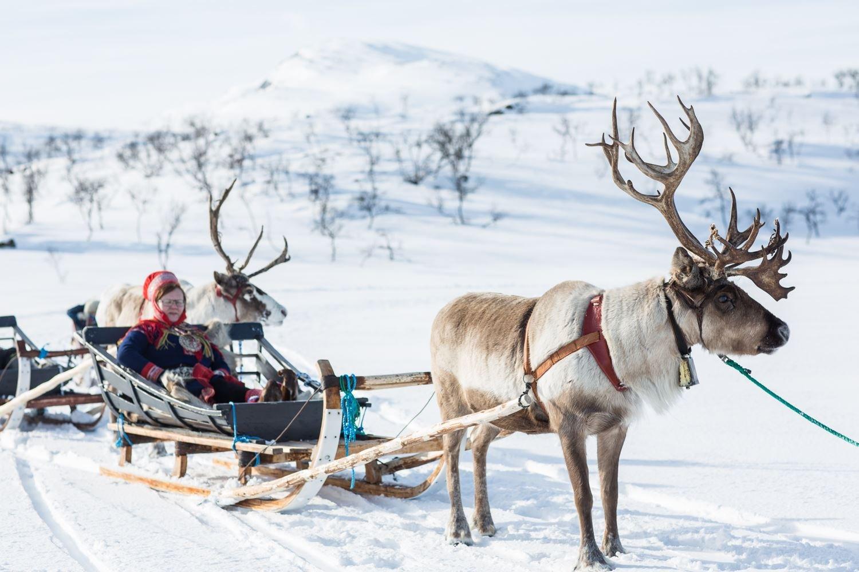 Reindeer Interaction at Sami Village - Sami Adventure