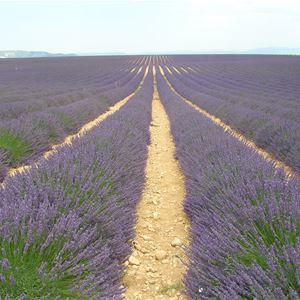 11. EXCURSION OCEAN OF LAVENDER