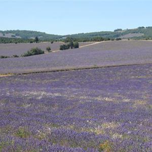 Half day Sault Lavender tour