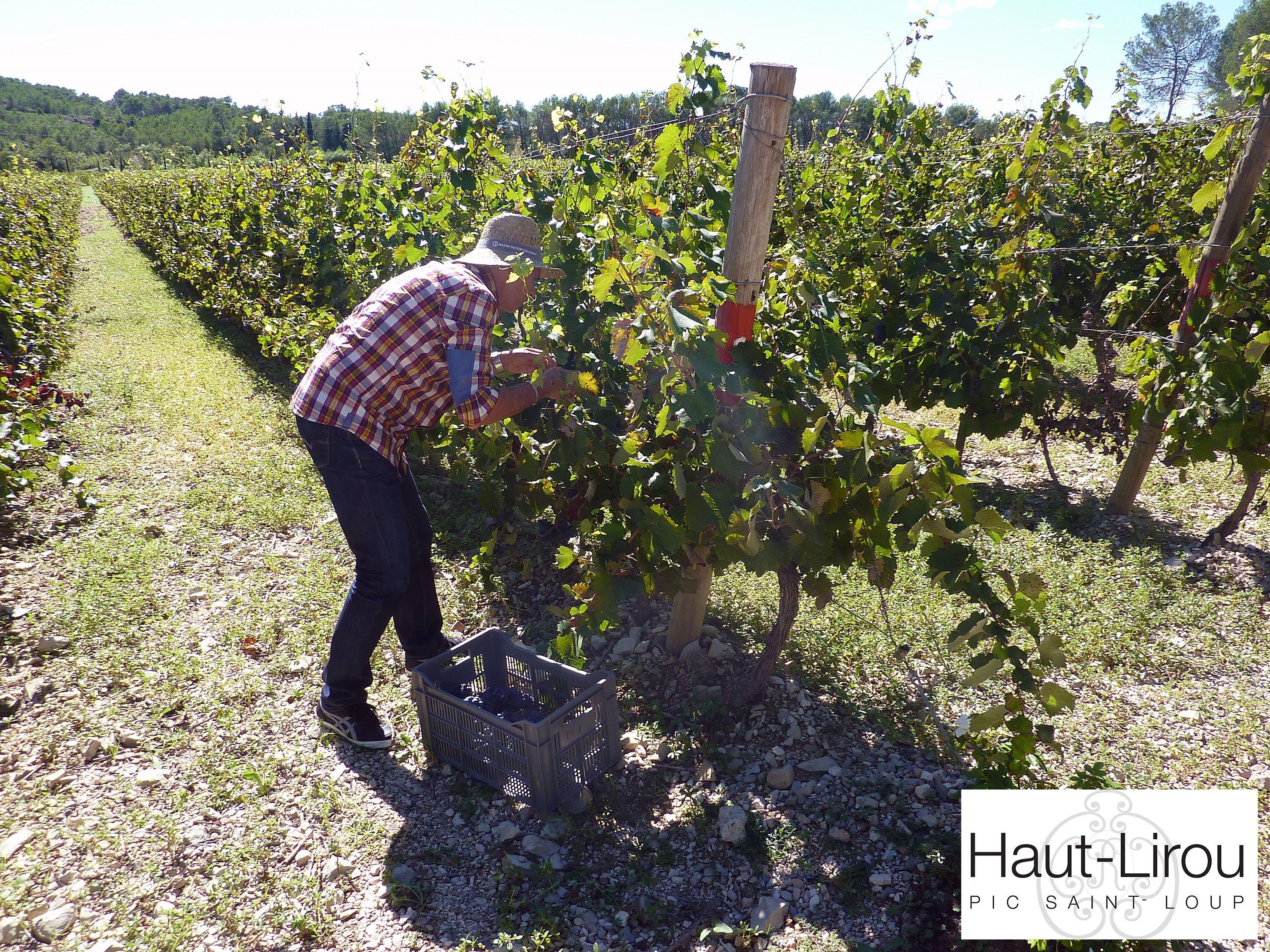 Vendanges en Pic Saint-Loup ! - Domaine Haut-Lirou