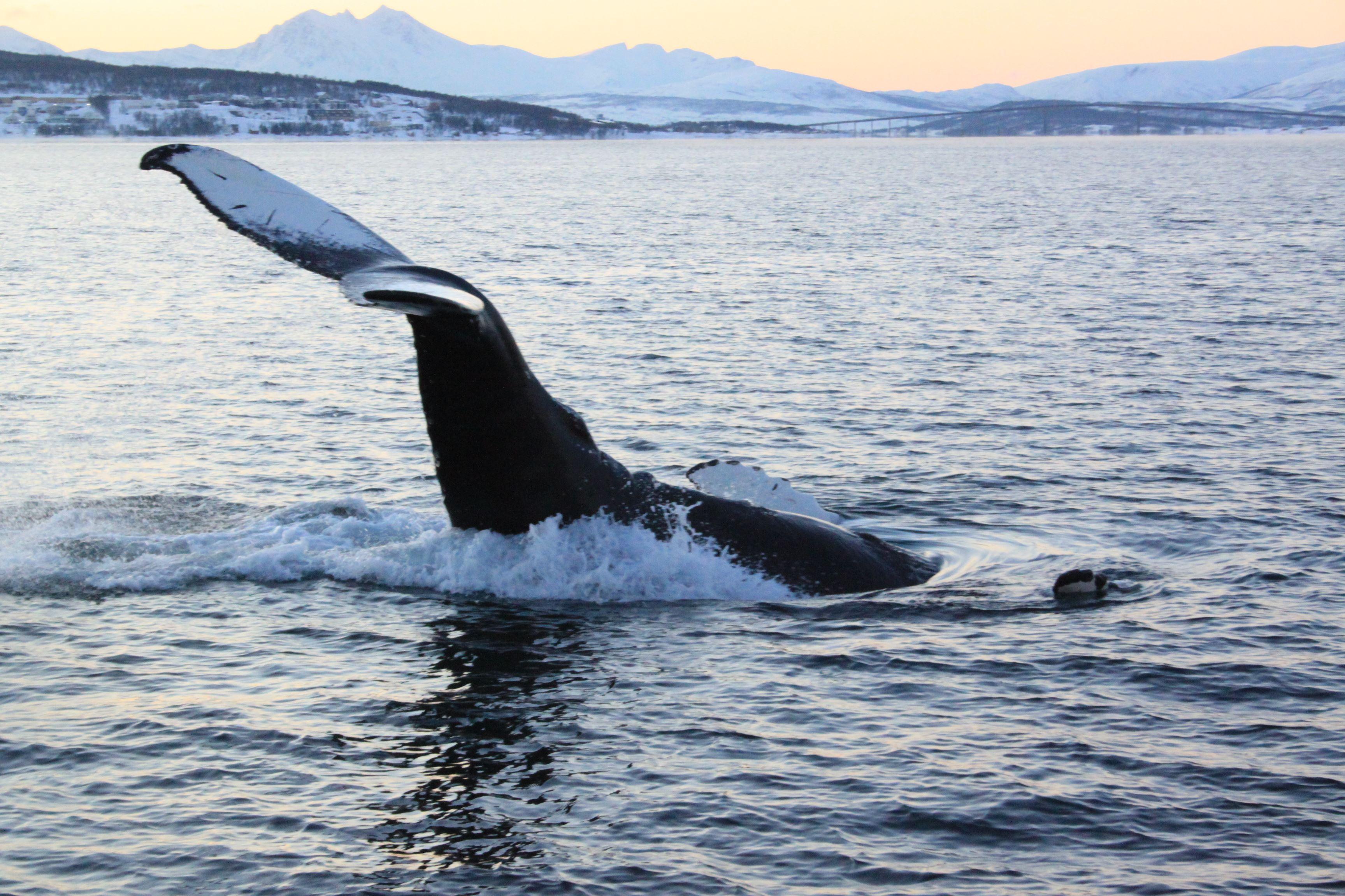 Polar Whale Safari from Tromsø by boat – Polar Adventures