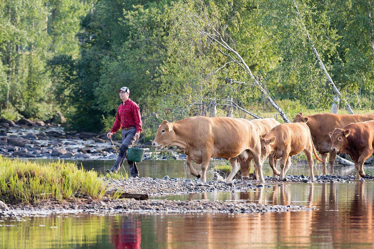 Åbrånets Limousin