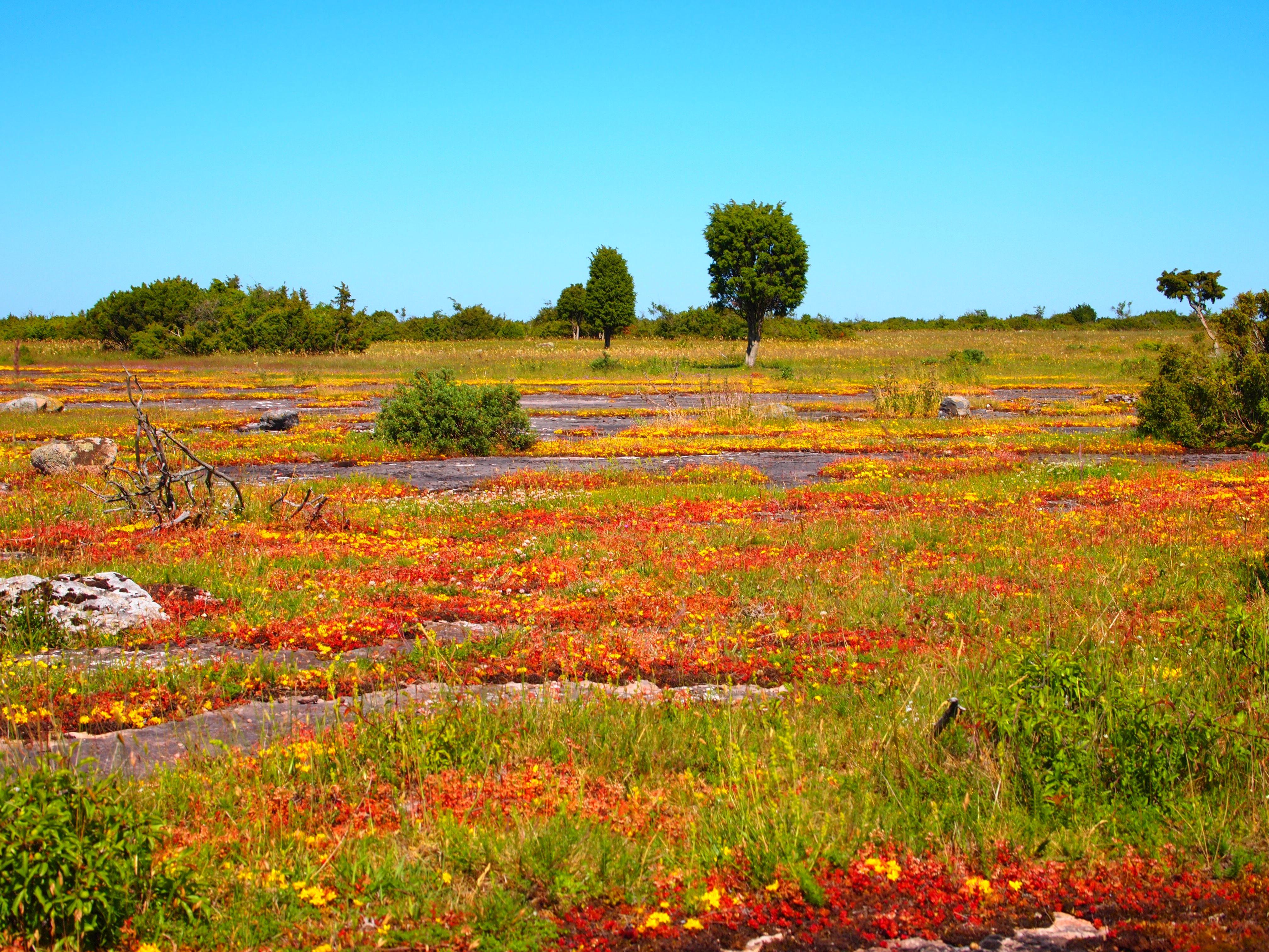 Vickleby alvar - klassiska orkidémarker