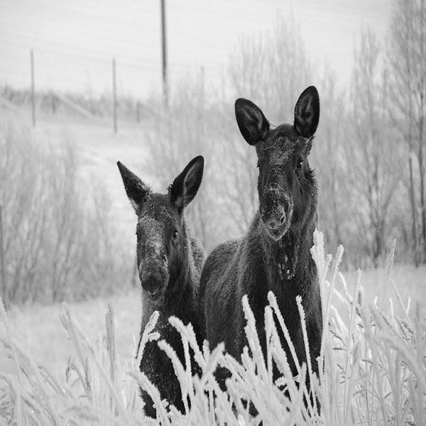 Foto: Moose Garden,  © Copy: Moose Garden, Två älgar i vintermiljö
