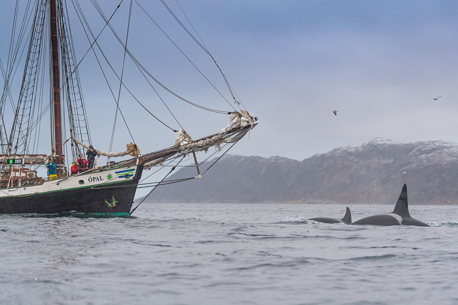 Whale Watching on Traditional Schooner - North Sailing Norway