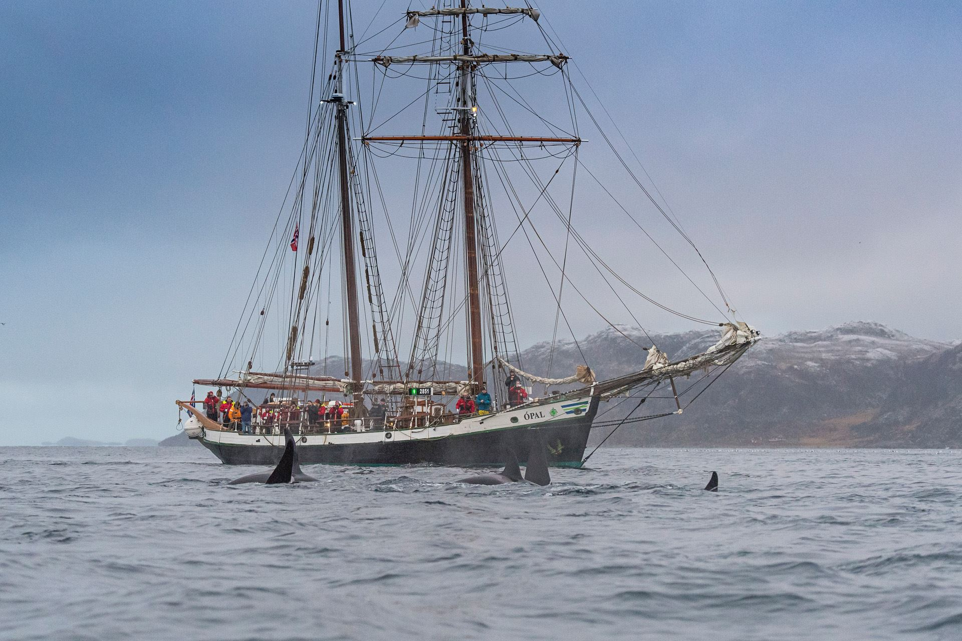 Silent whale watching - with the electric schooner Opal - North Sailing Norway