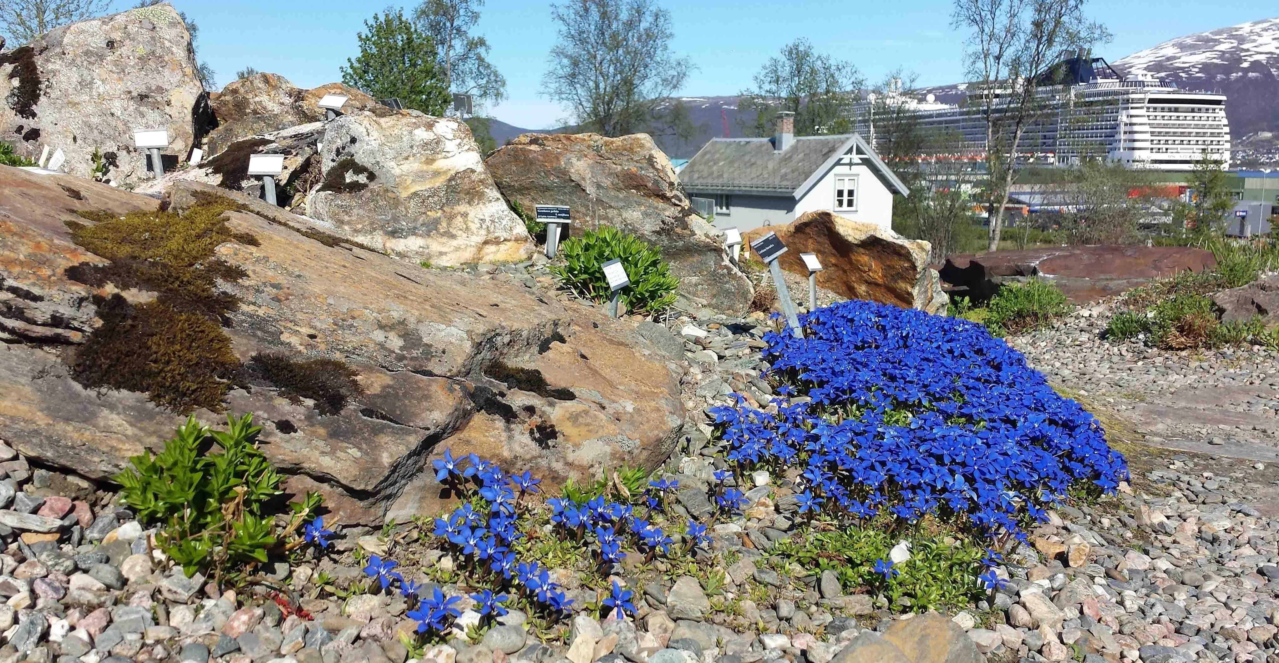 Nette og nydelige – de vakreste blomstene i verdens nordligste botaniske hage – Tromsø Museum