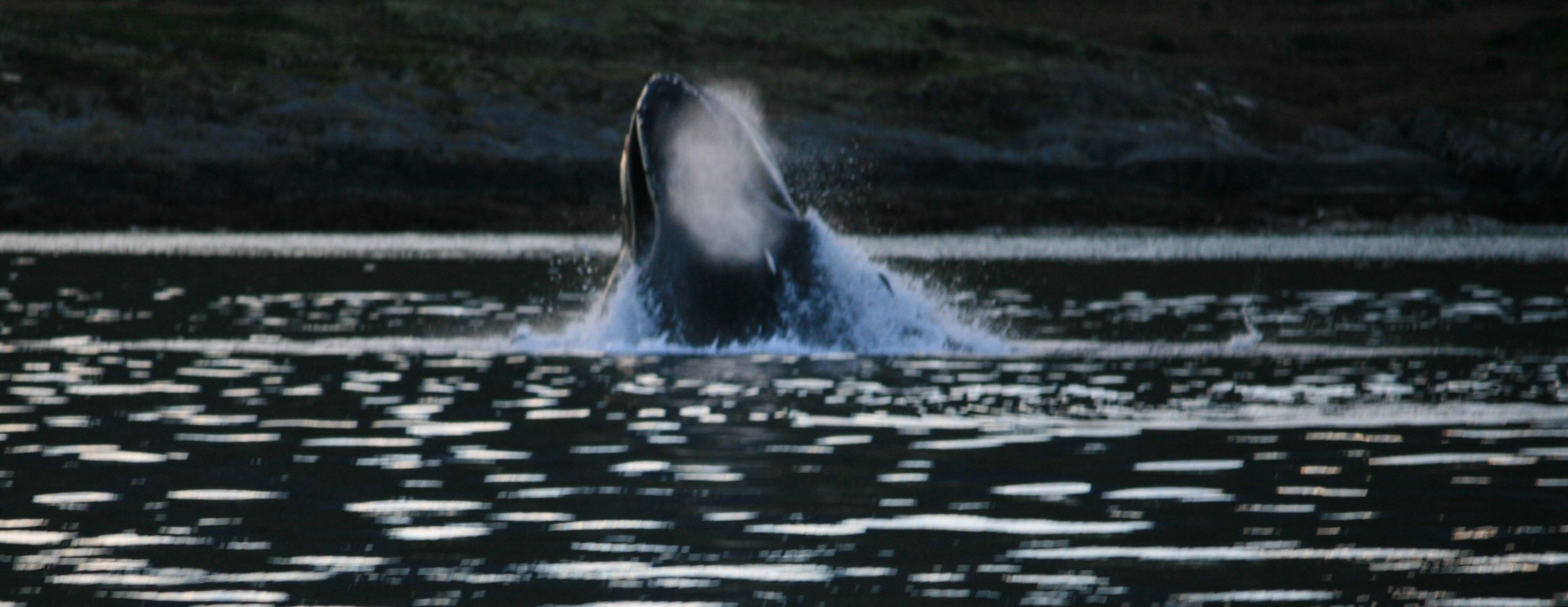 Whale watching in Tromsø's Arctic environment - Norfishinfo