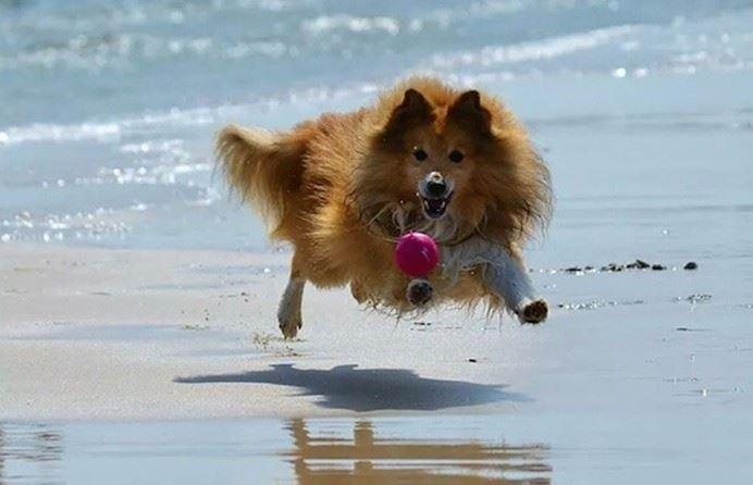 Hundutställning på Böda Sand
