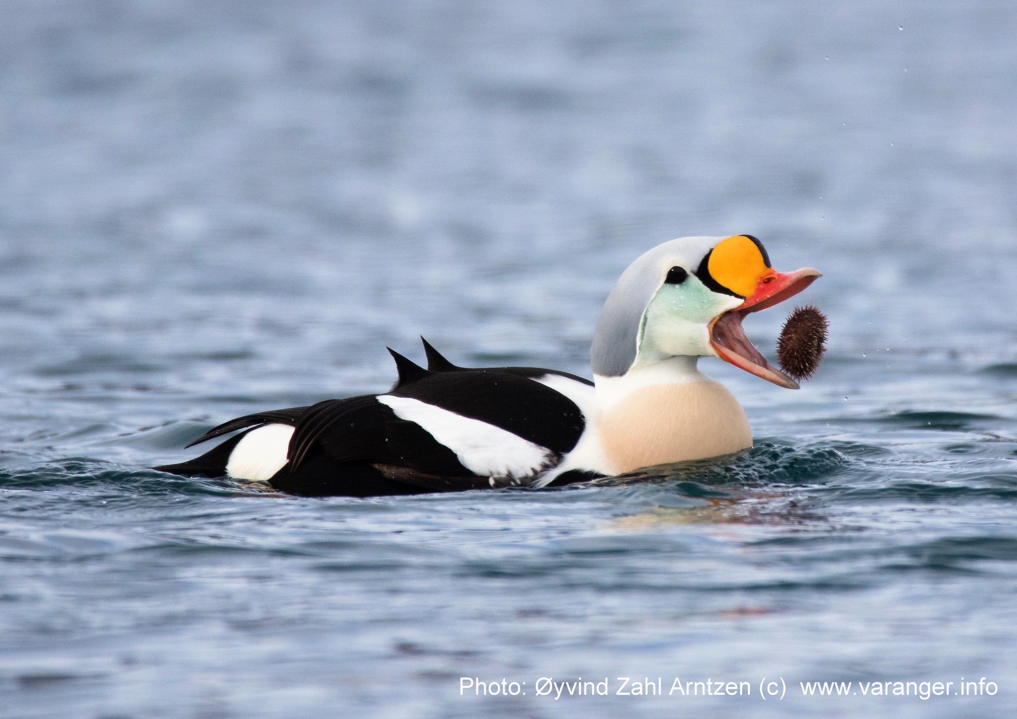Fuglefotografering med Arntzen Arctic Adventures i Varanger