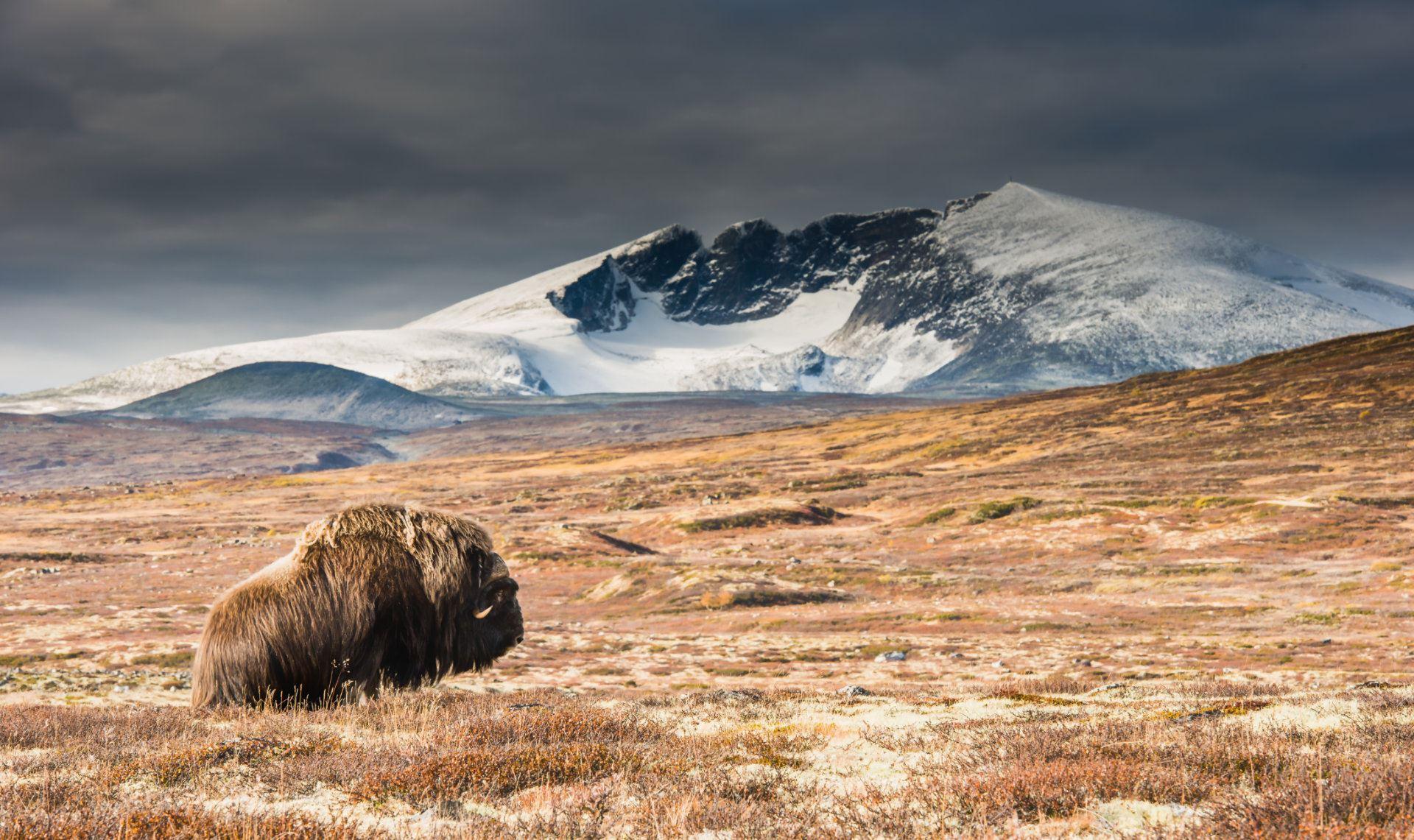 Foto: Roger Brendhagen,  © Nasjonalparkriket, Dovre Rundt