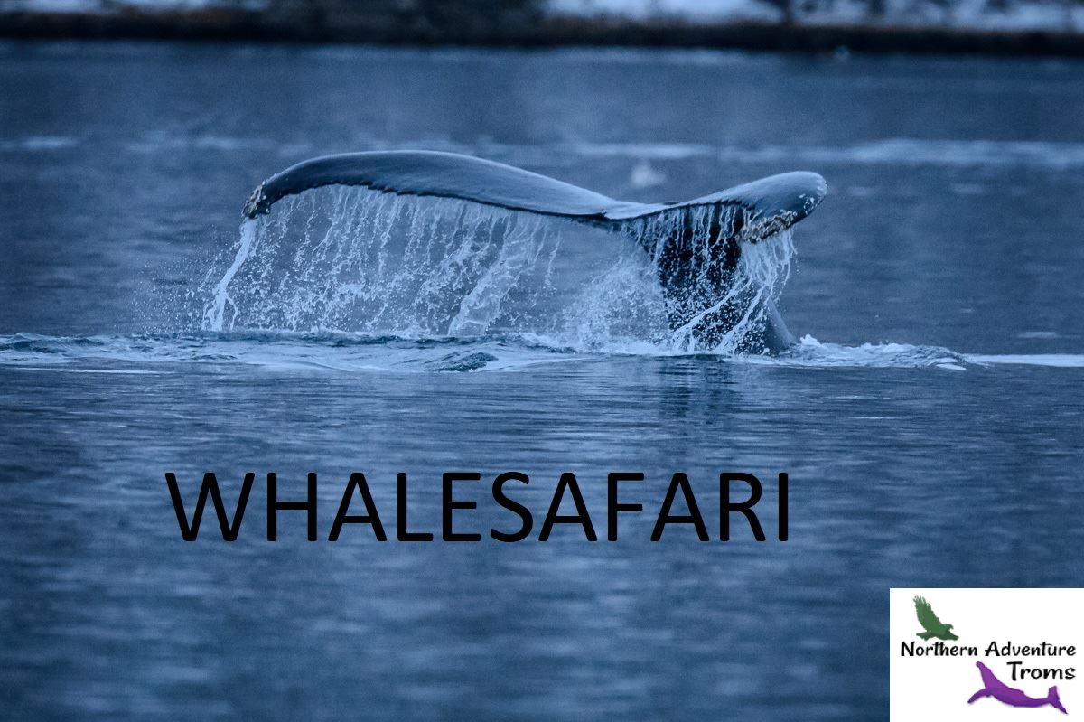 Whalesafari in a small exclusive group - Northern Adventure Troms