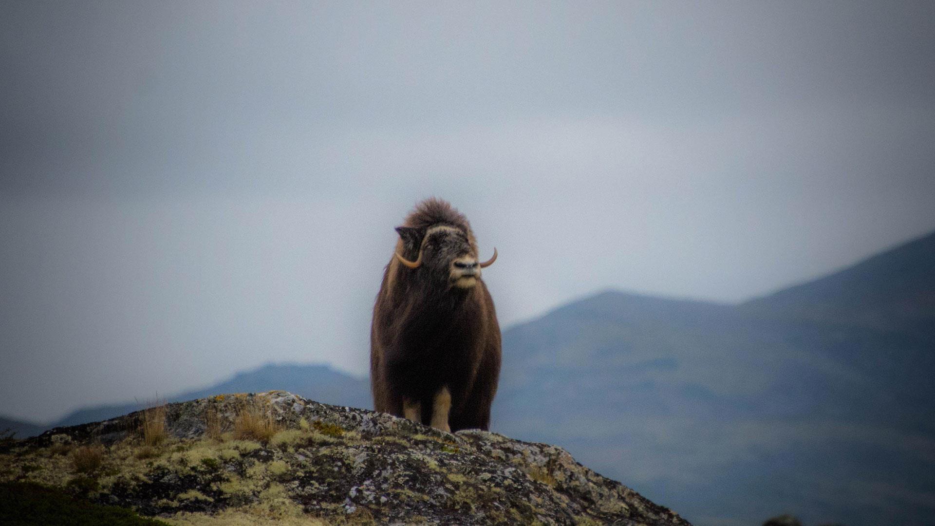 Moskussafari på Dovrefjell | Furuhaugli