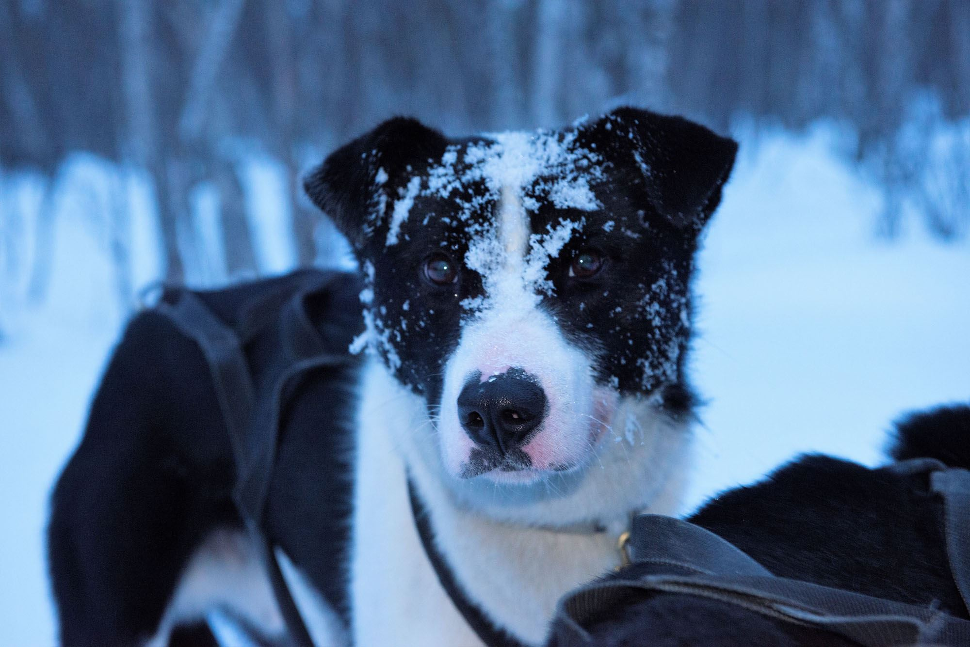 © Mira Hampel, Dog sledding in Røyeldalen / Reisadalen