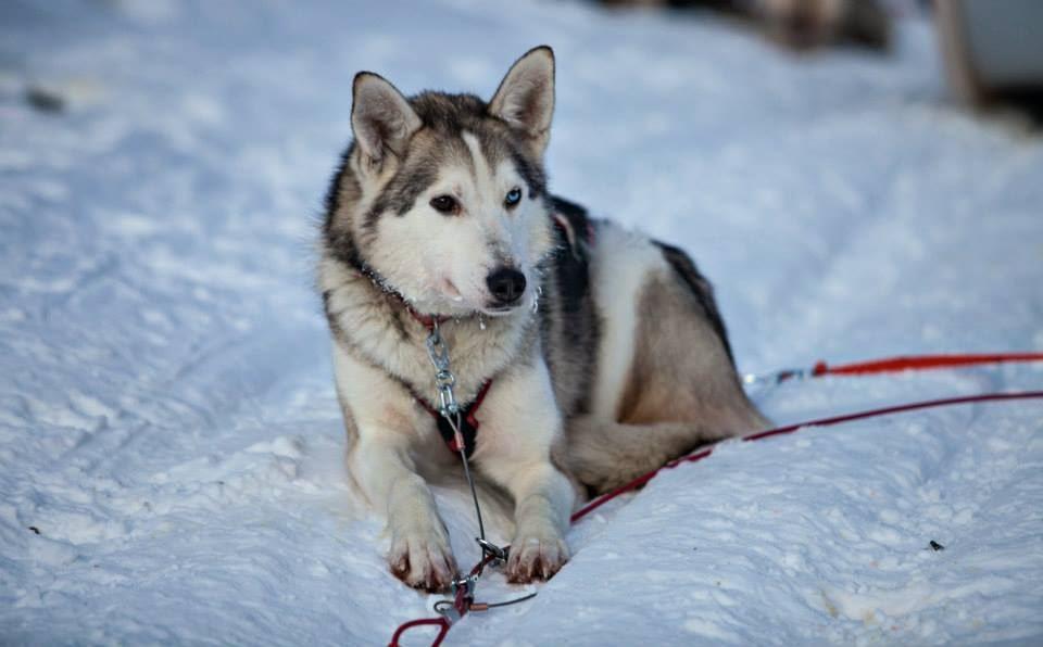 Dog sledding in Røyeldalen / Reisadalen