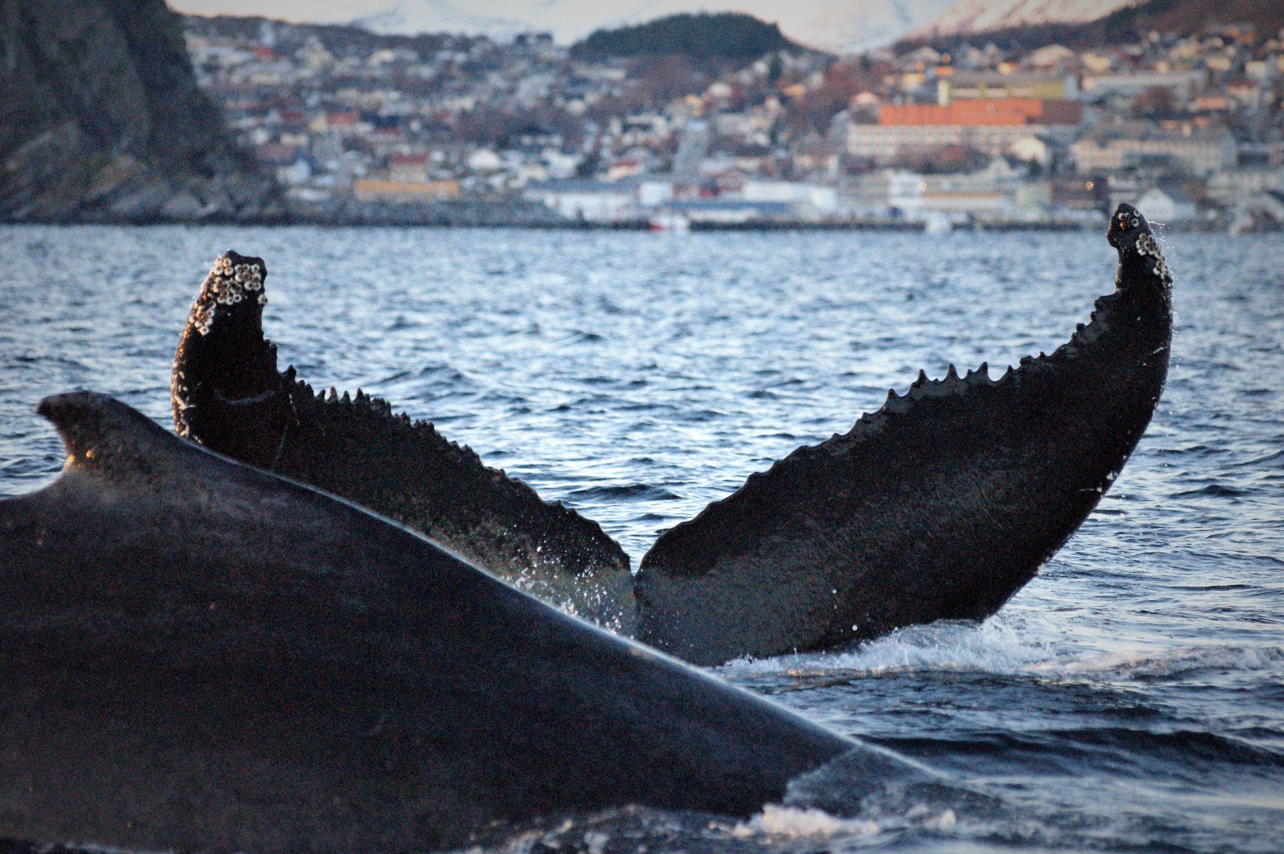 Skjervøy Whale Safari - Tromsø Safari