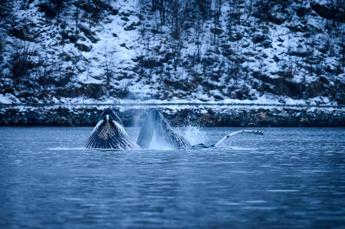 Whalesafari to Skjervøy in a small exclusive group - Northern Adventure Troms