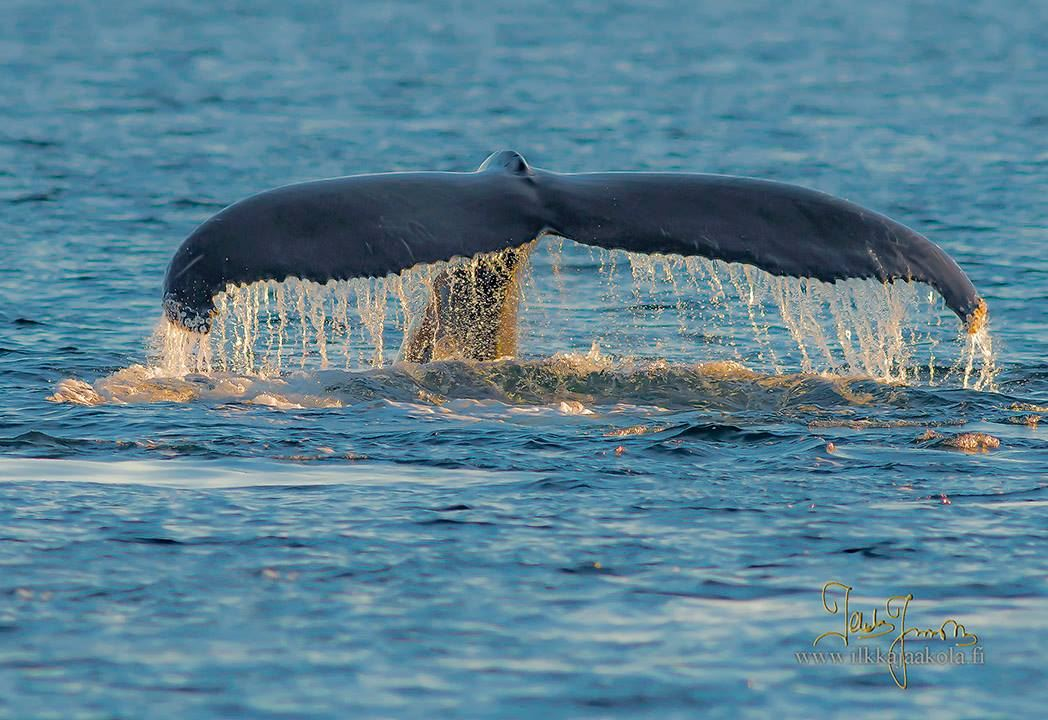 Arctic Whale and Wildlife Safari - Arctic Whale Tours