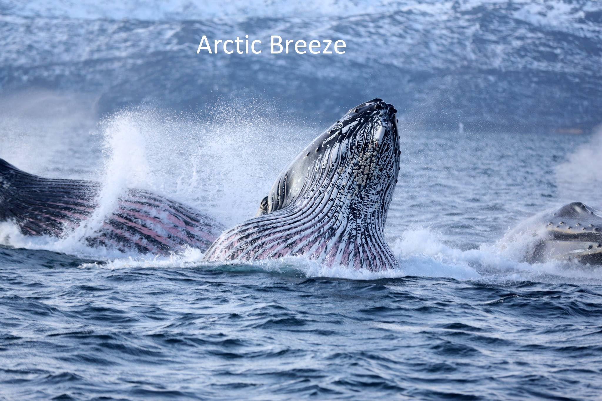 Hvalsafari - Arctic Breeze