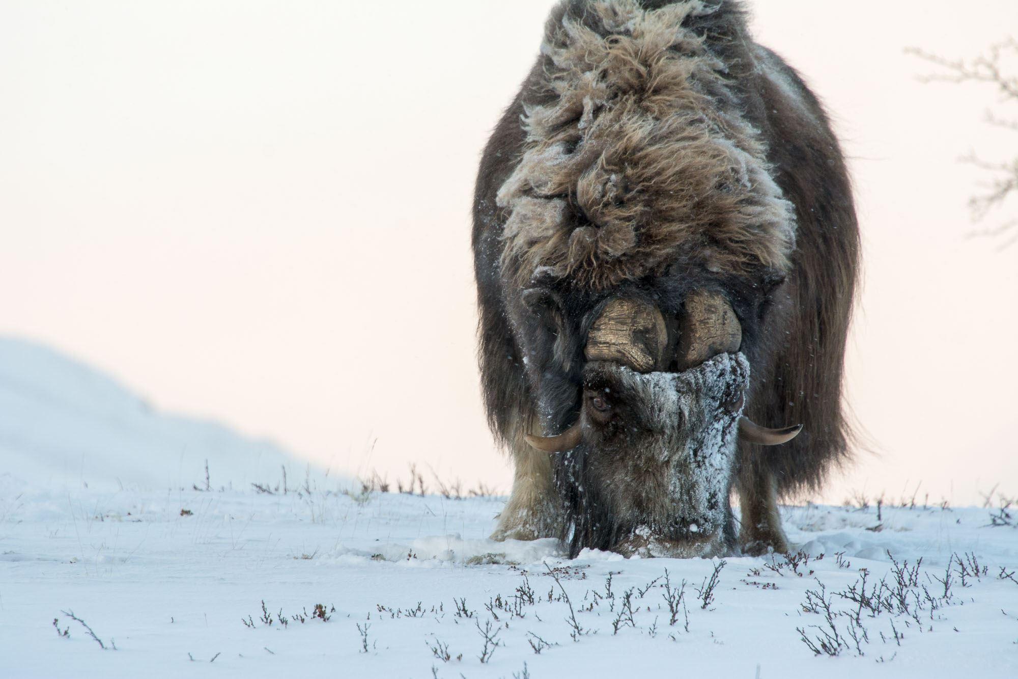 WINTER Musk Ox safari at Dovrefjell