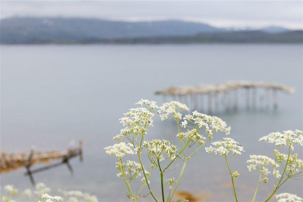 Bildet er tatt ut over havet i Kongsfjord, med en hvit blomst framme i bildet.