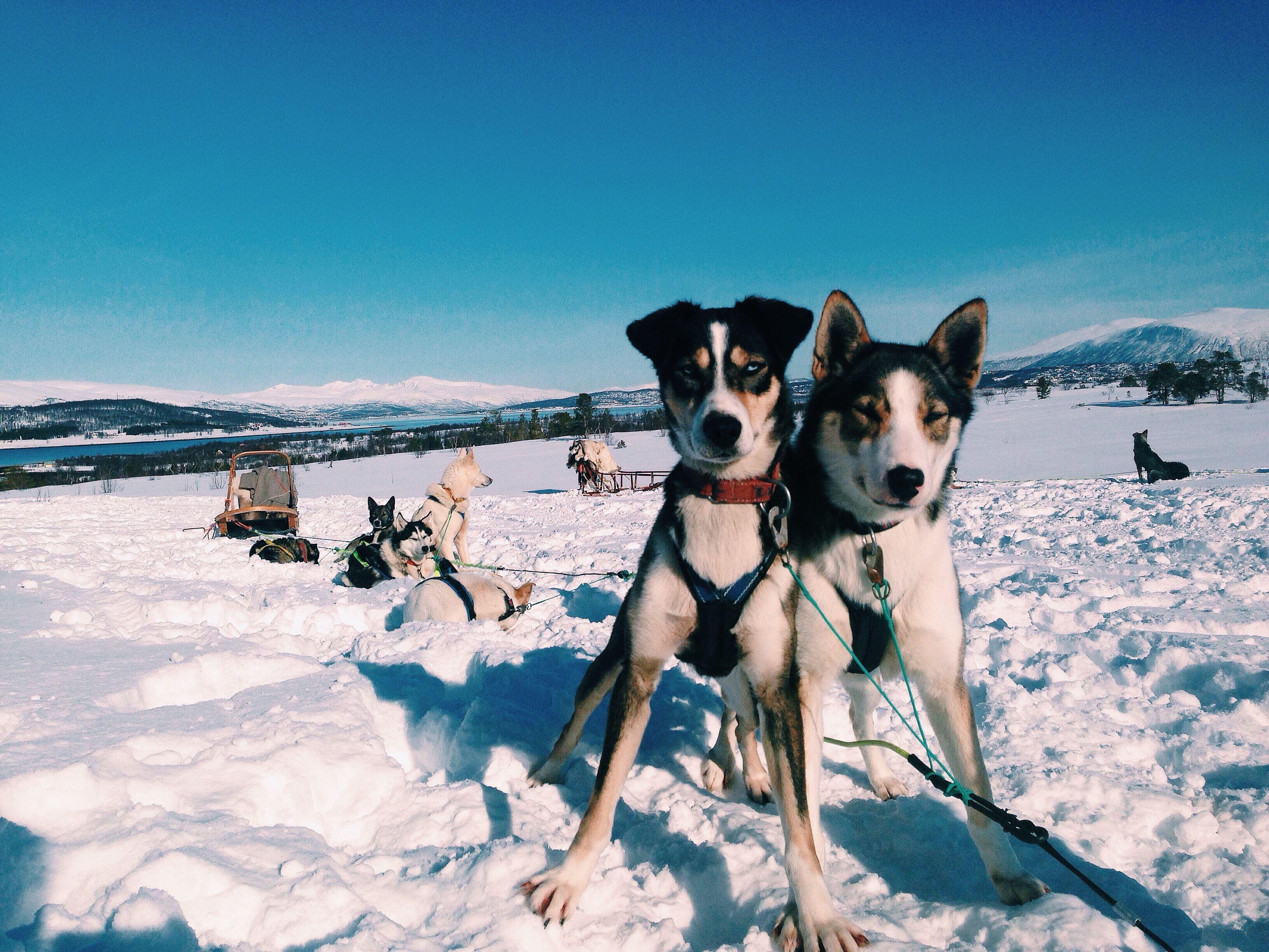 Hundekjøring i den arktiske våren - Tromsø Villmarkssenter