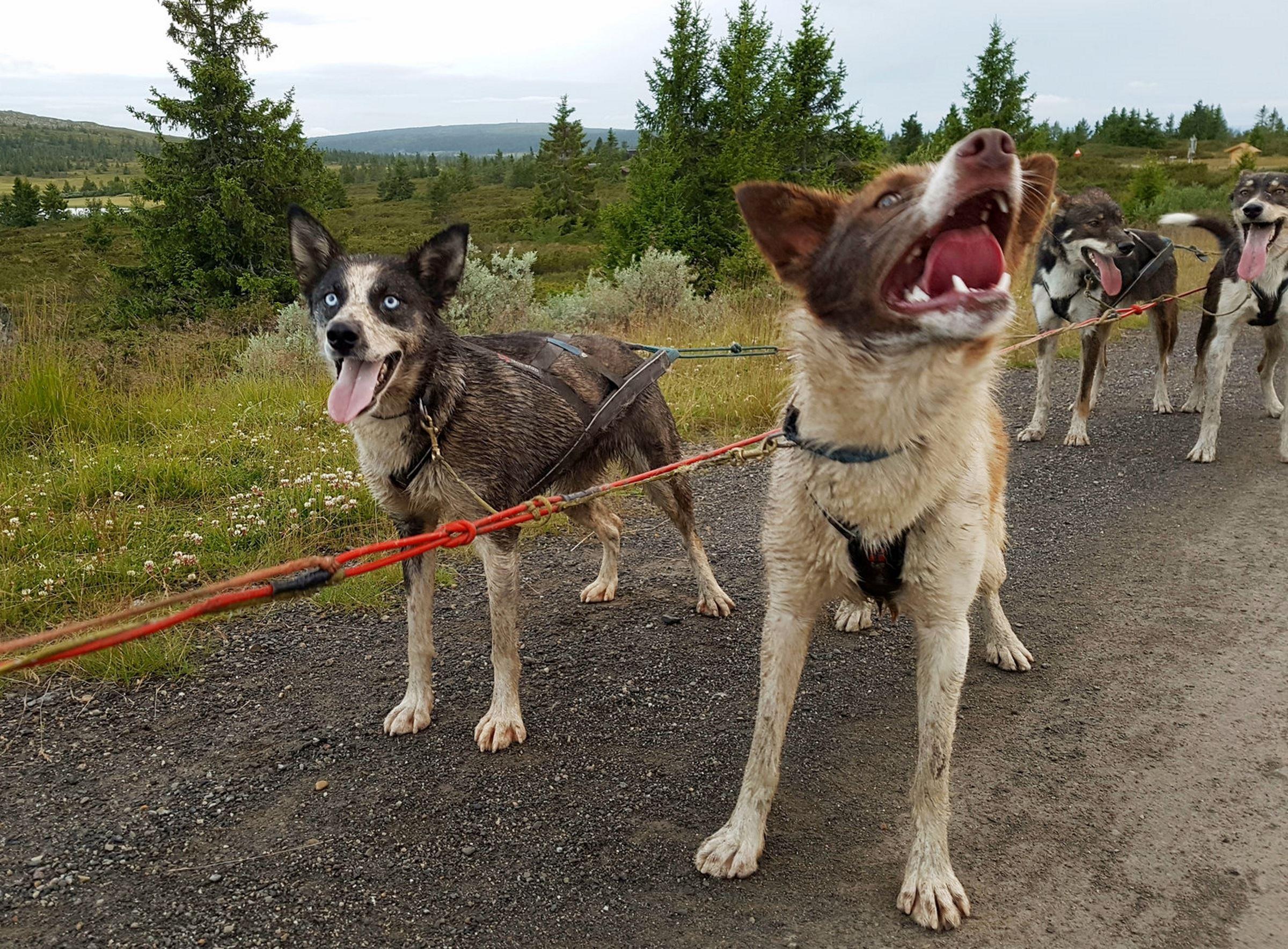 Hundekjøring om sommeren